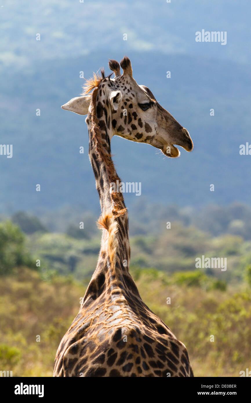 Masai giraffe (Giraffa camelopardalis) - Stock Image