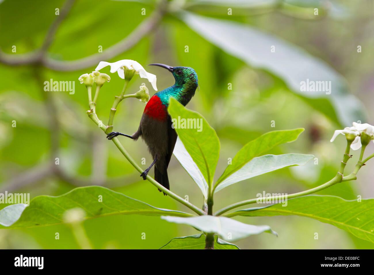 Olive-bellied Sunbird (Cinnyris chloropygia) - Stock Image