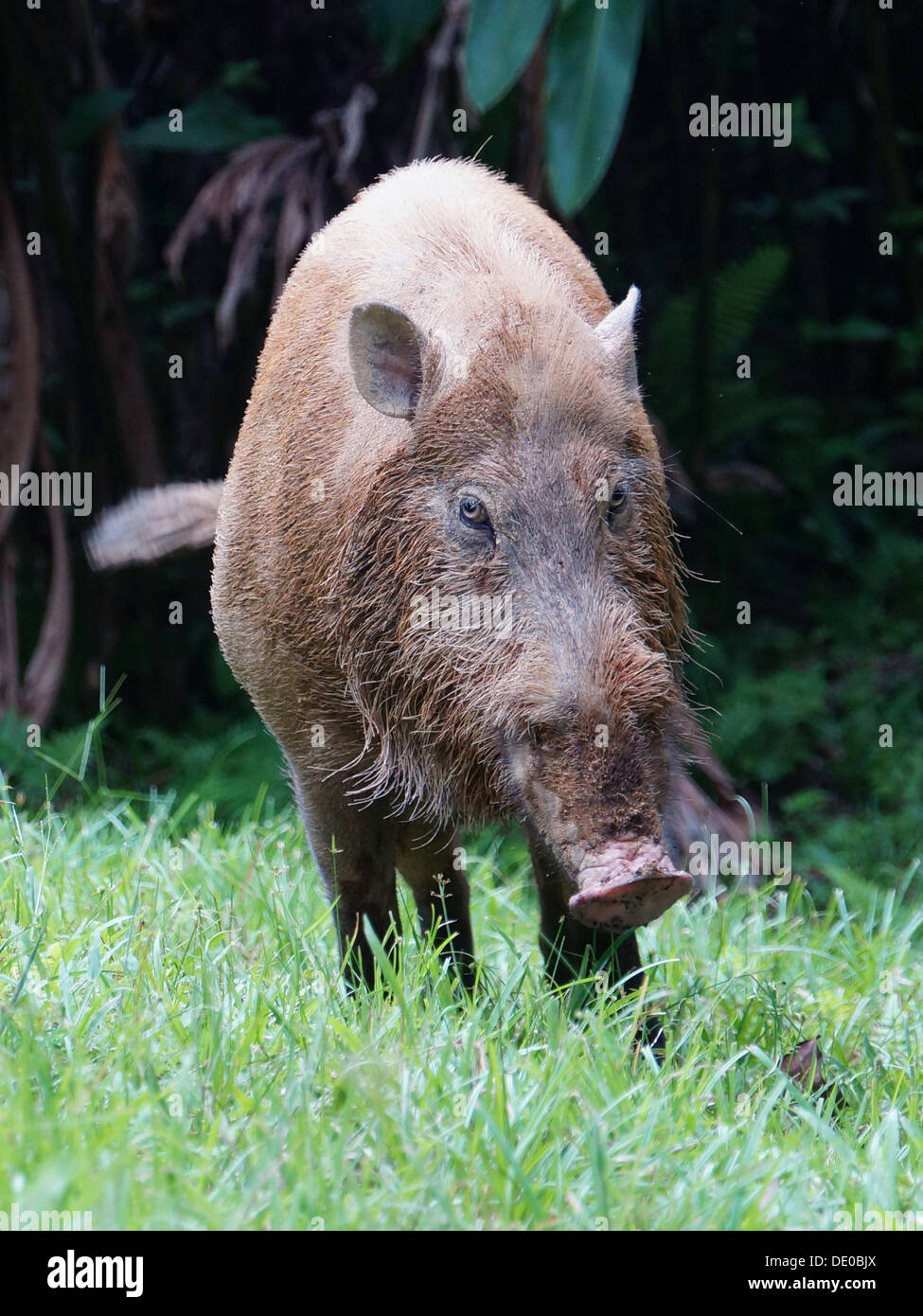 Sus barbatus bearded pig sumatra borneo - Stock Image