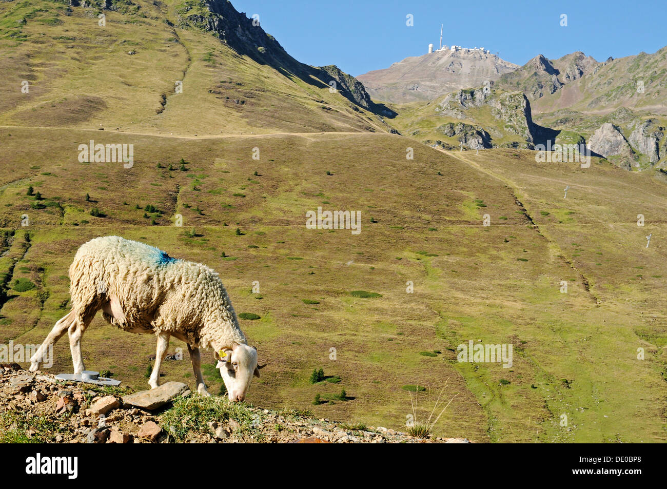 A grazing sheep, Pic du Midi de Bigorre mountain with the observatory at the back, Col du Tourmalet, mountains, Bareges - Stock Image