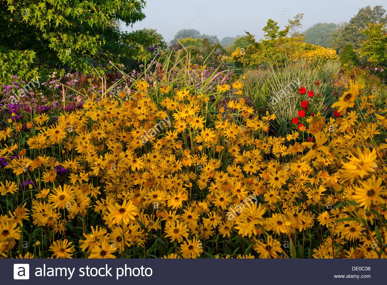 Helianthus atrorubens Monarch purpledisk sunflower Merriments East Sussex late summer garden border combination September sun - Stock Image
