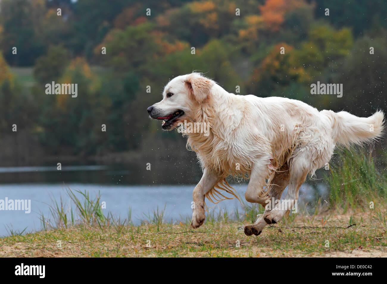 Golden Retriever (Canis lupus familiaris), male dog running, in autumn - Stock Image