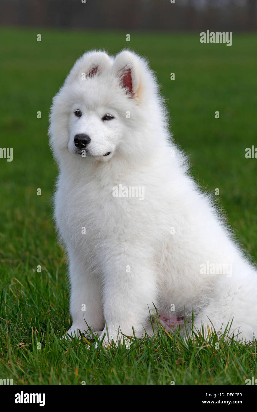 Samoyed dog, puppy, 3.5 months, male, sitting on a meadow - Stock Image