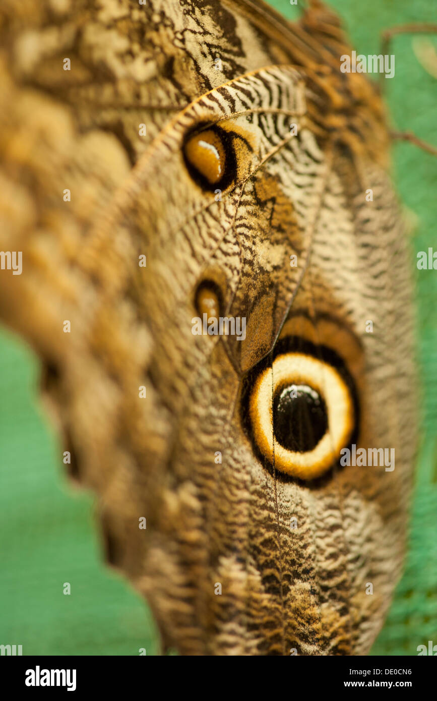 Close-up of owl butterfly wing - Stock Image