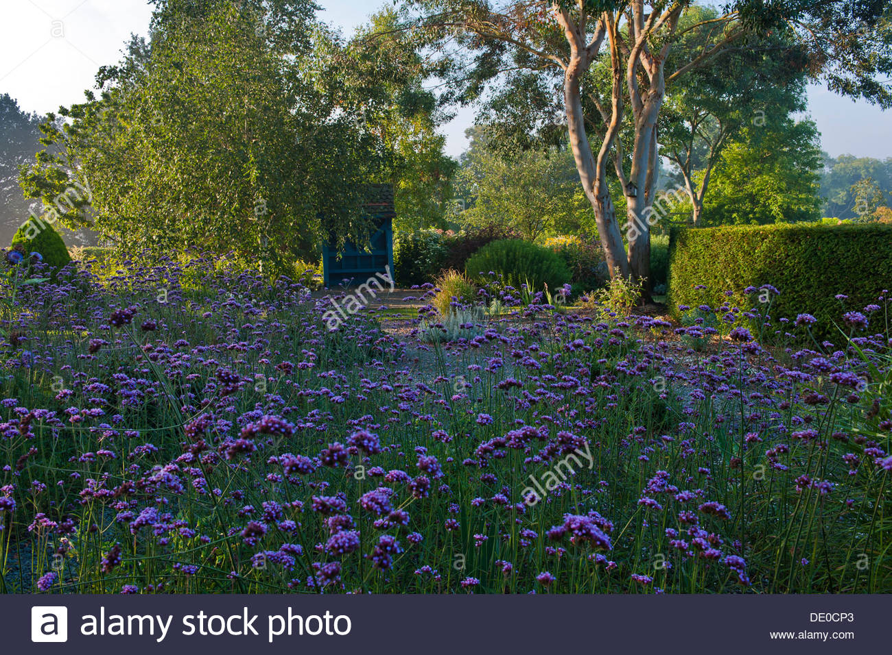 Verbena bonariensis purpletop vervain covered seat bench silver birches Eucalyptus trees Merriments East Sussex - Stock Image