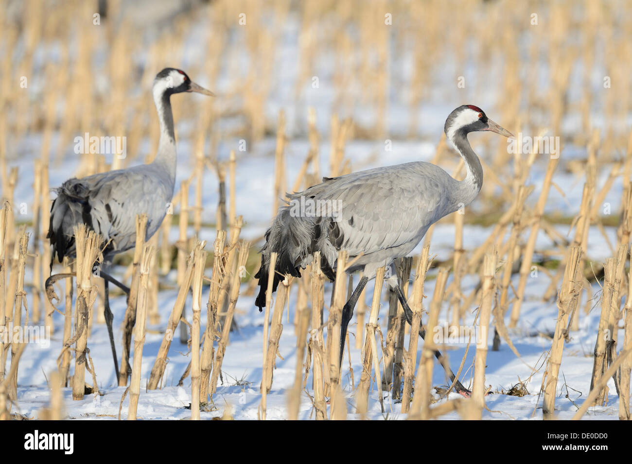 Cranes (Grus grus) search for food in a snow-covered cornfield - Stock Image