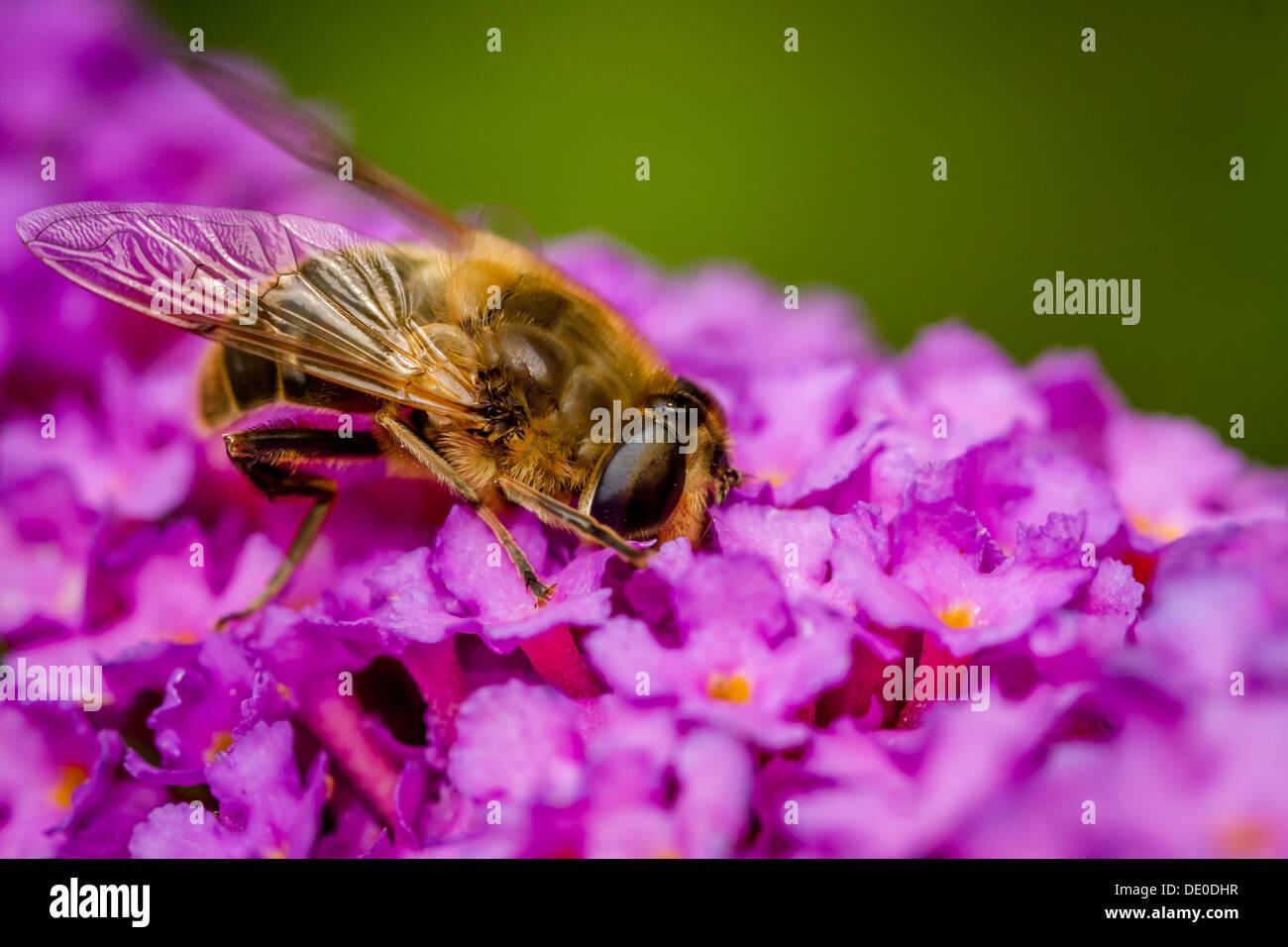 Wildlife - Hoverfly enjoying a drink from a buddleia - Eristalis pertinax - Buddleia davidii, UK - Stock Image
