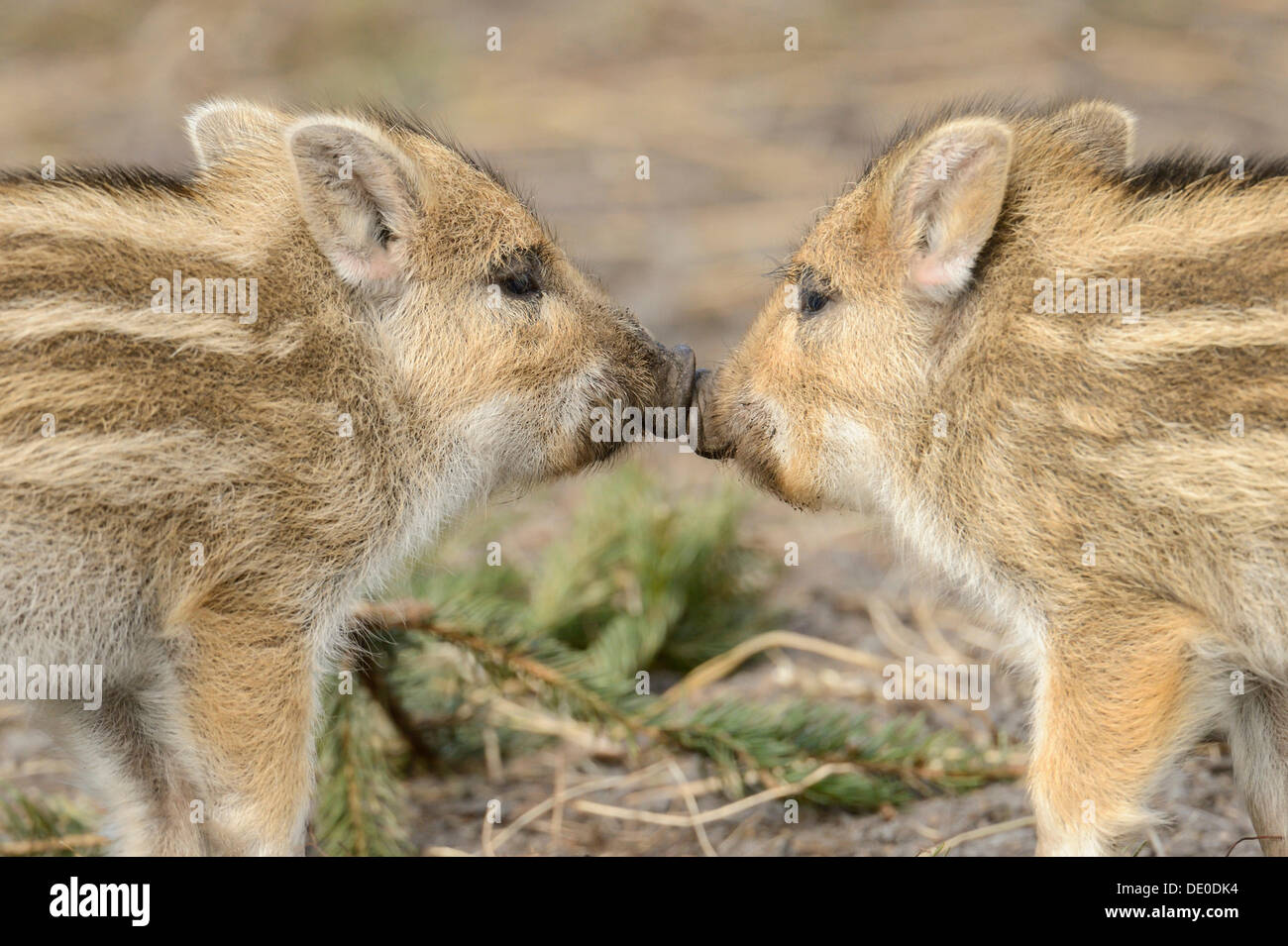 Wild boar (Sus scrofa), two piglets touching each other with their snouts Stock Photo