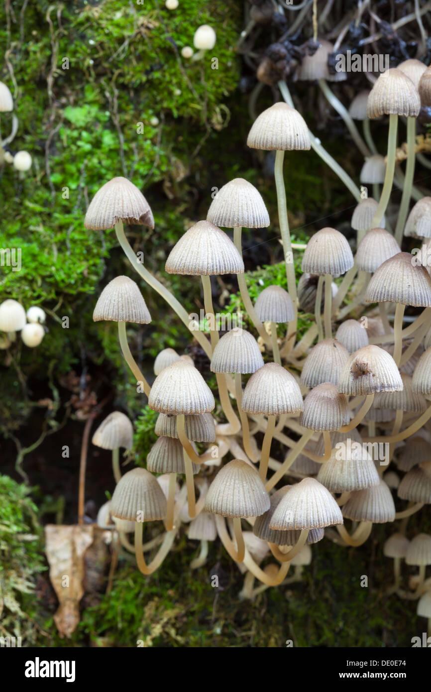 Coprinellus disseminatus mushroom Stock Photo