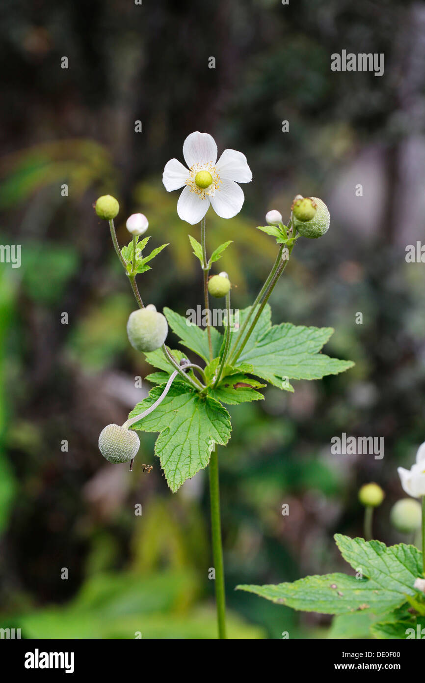 Japanese anemone, Thimbleweed (Anemone hupehensis), invasive plant, Big Island, Hawaii, USA Stock Photo