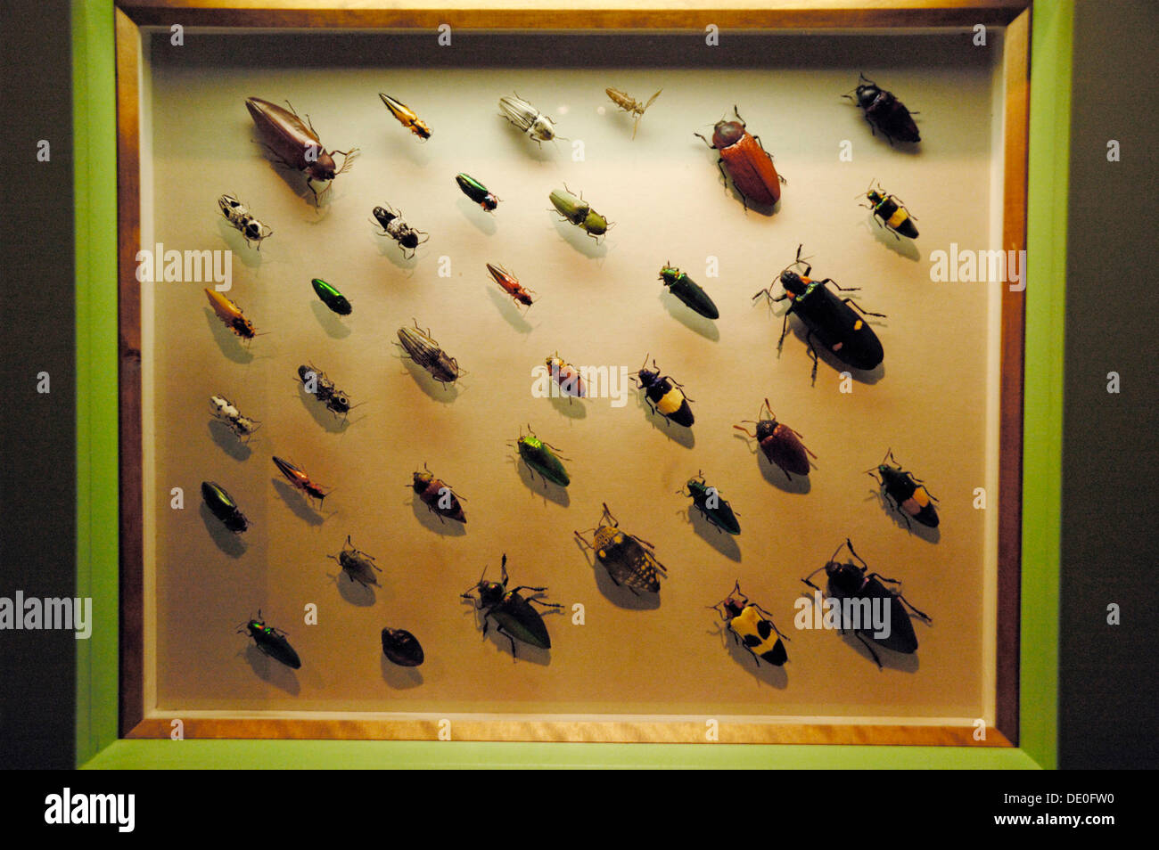 Various Jewel Beetles or Metallic Wood-boring Beetles (Buprestidae), Click Beetles (Elateridae) in a showcase, insect exhibition - Stock Image