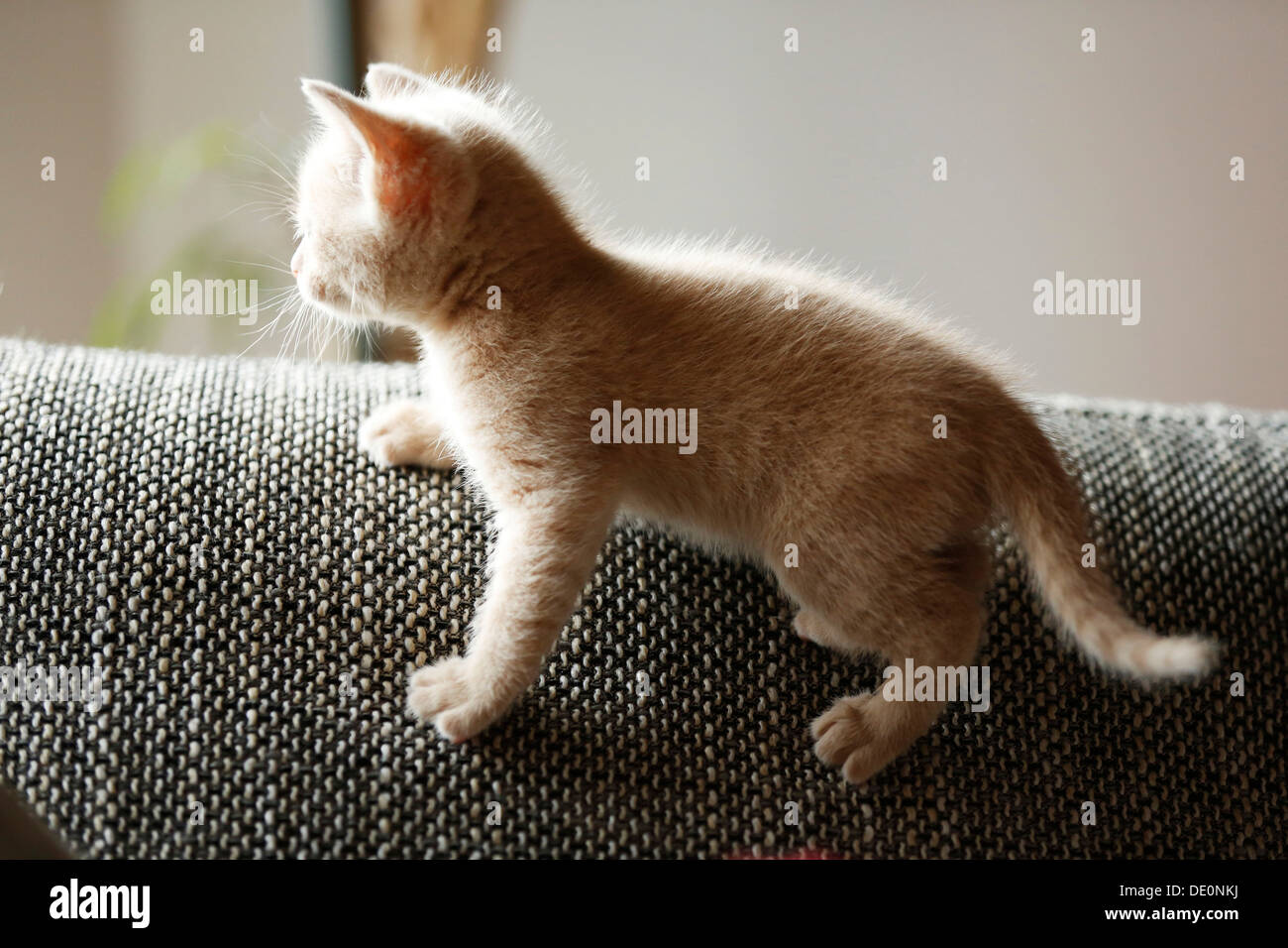 Kitten, 6 weeks, standing on a sofa - Stock Image
