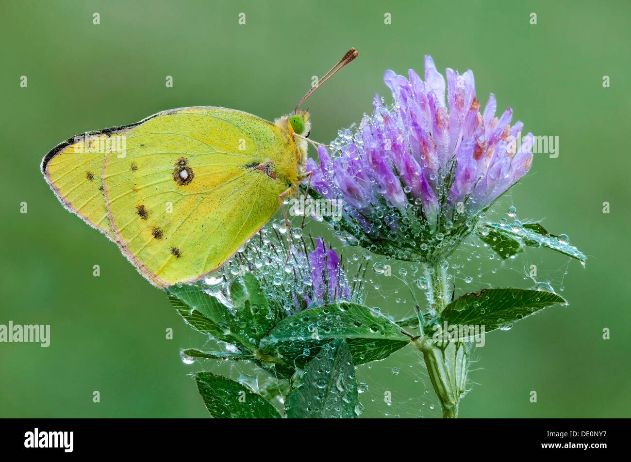 The Common or Clouded Sulfur Butterfly Colias philodice Red Clover covered with dewy spider webs E USA - Stock Image