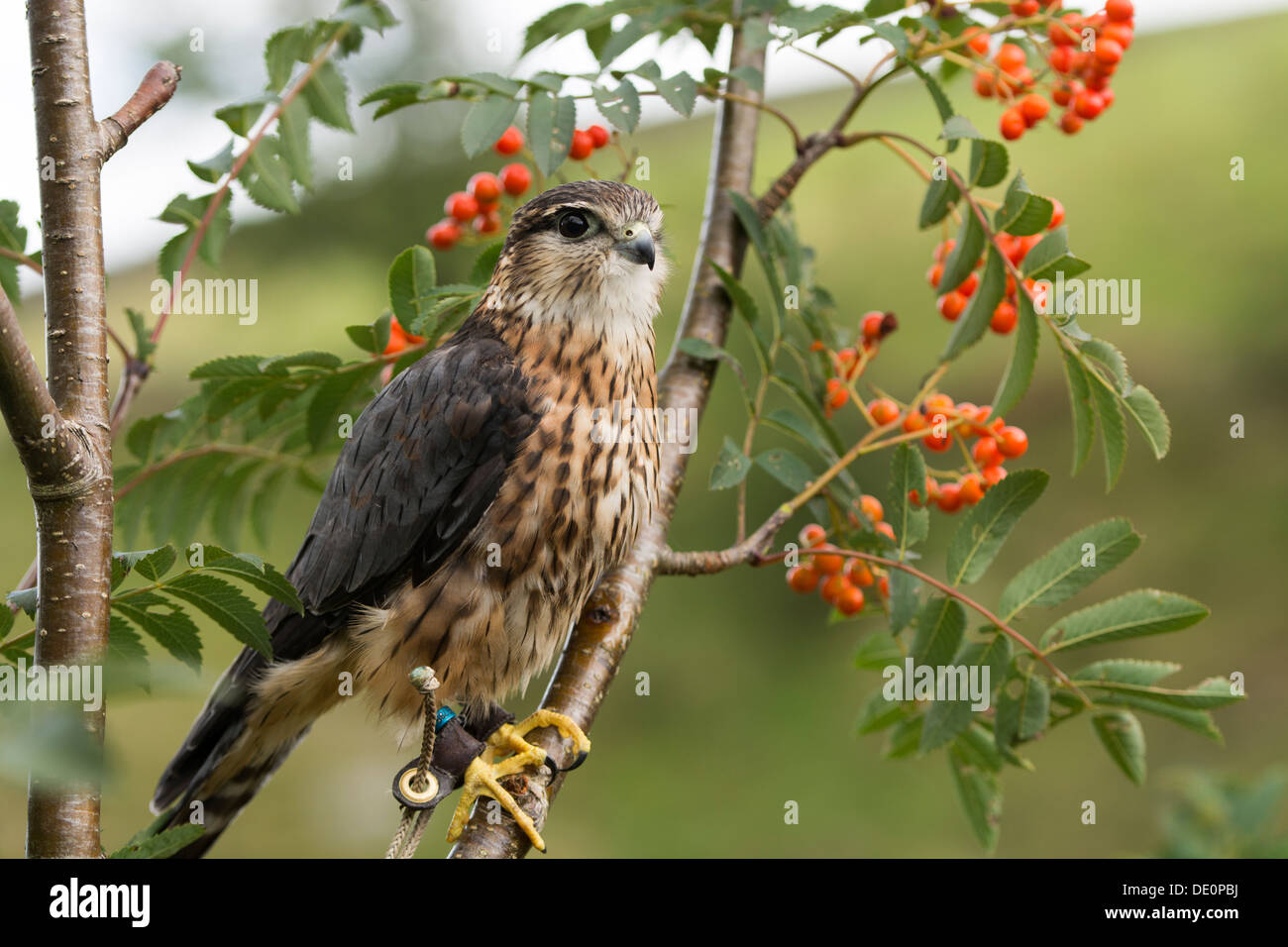 Captive Merlin ( Falco columbarius) perched in a Mountain Ash tree with berries on. Yorkshire, UK. - Stock Image