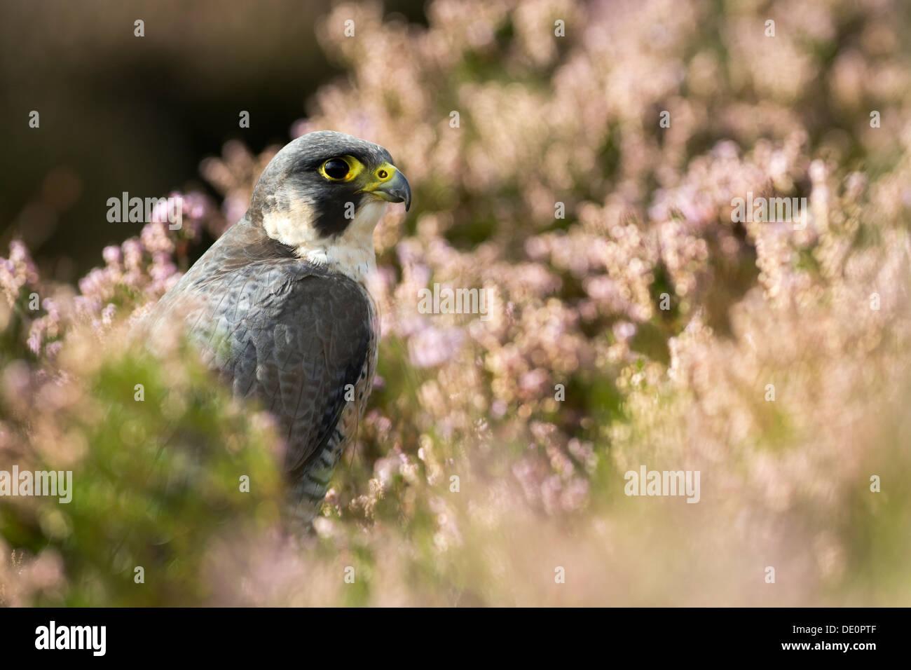 Peregrine Falcon, Falco peregrinus, resting in heather on moorland, Yorkshire, UK. Captive bird. - Stock Image
