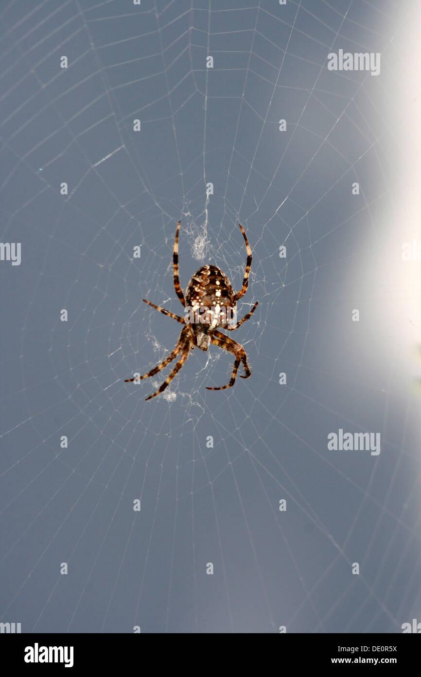 European garden spider, diadem spider, cross spider or cross orbweaver (Araneus diadematus) sitting in spider's web, Mettmann - Stock Image