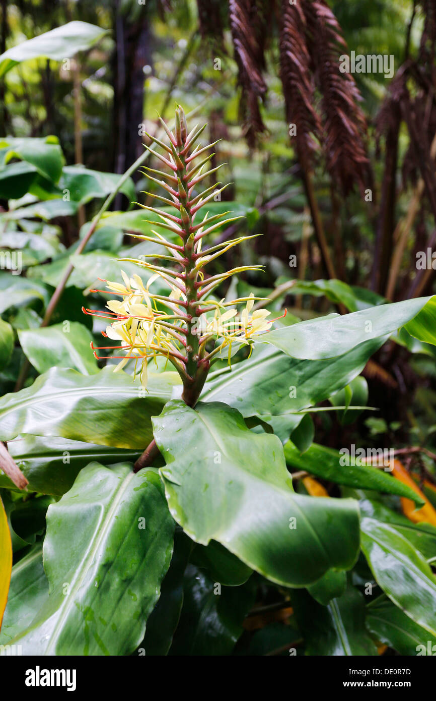 Garland flower, ginger lily (Hedychium), blossom, invasive species, Hawaiʻi Volcanoes National Park, Hawaii, USA - Stock Image