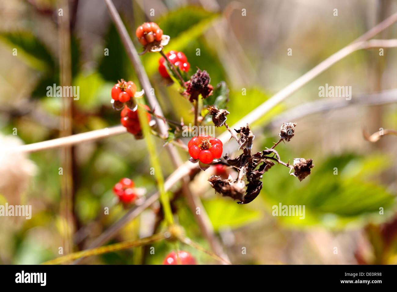Yellow Himalayan raspberry (Rubus ellipticus), with thorns, invasive species, Big Island, Hawaii, USA - Stock Image