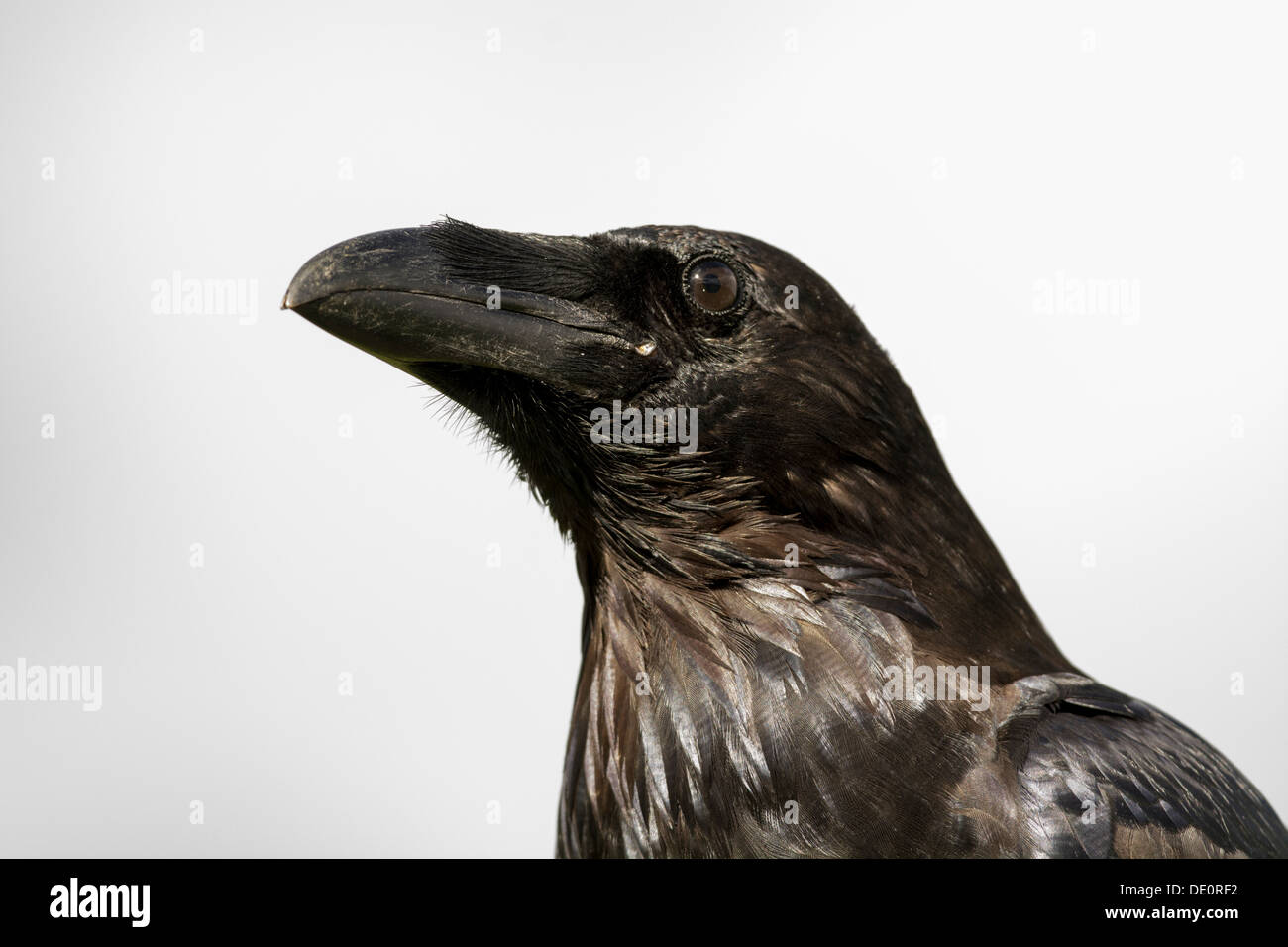 Close up of powerful head and beak of a Raven, Corvus corax. Captive bird. - Stock Image