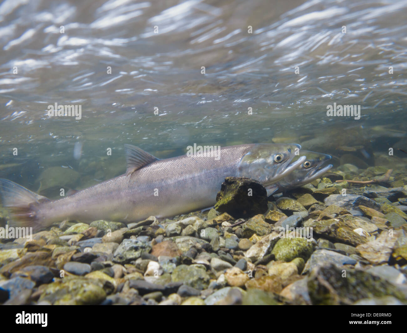 Close-up of two spawning salmon in shallow water in a river in Alaska, USA - Stock Image