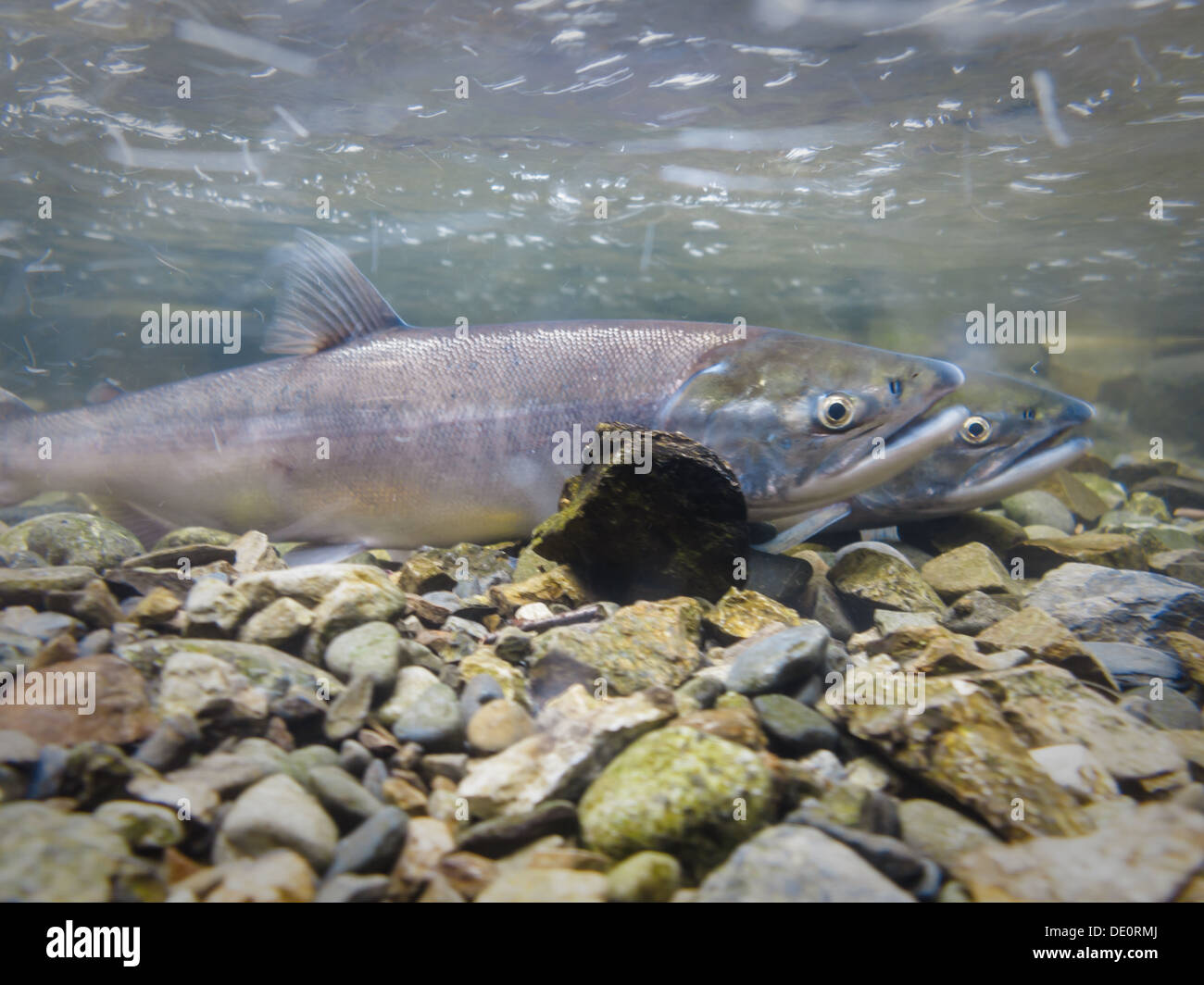 Close-up of two spawning salmon in river near Cooper Landing, Alaska - Stock Image