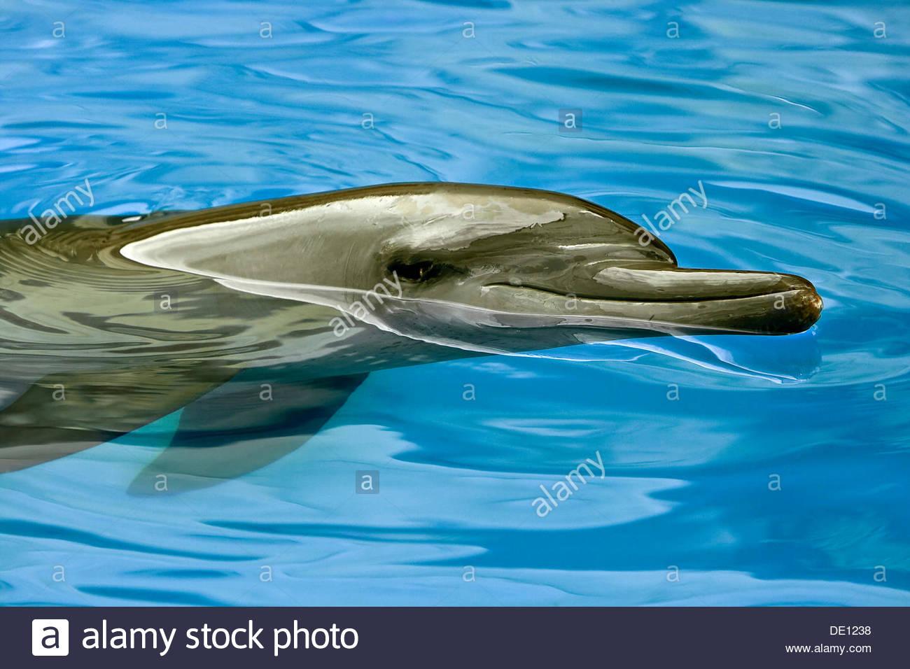 Dolphin (Delphinidae) - Stock Image