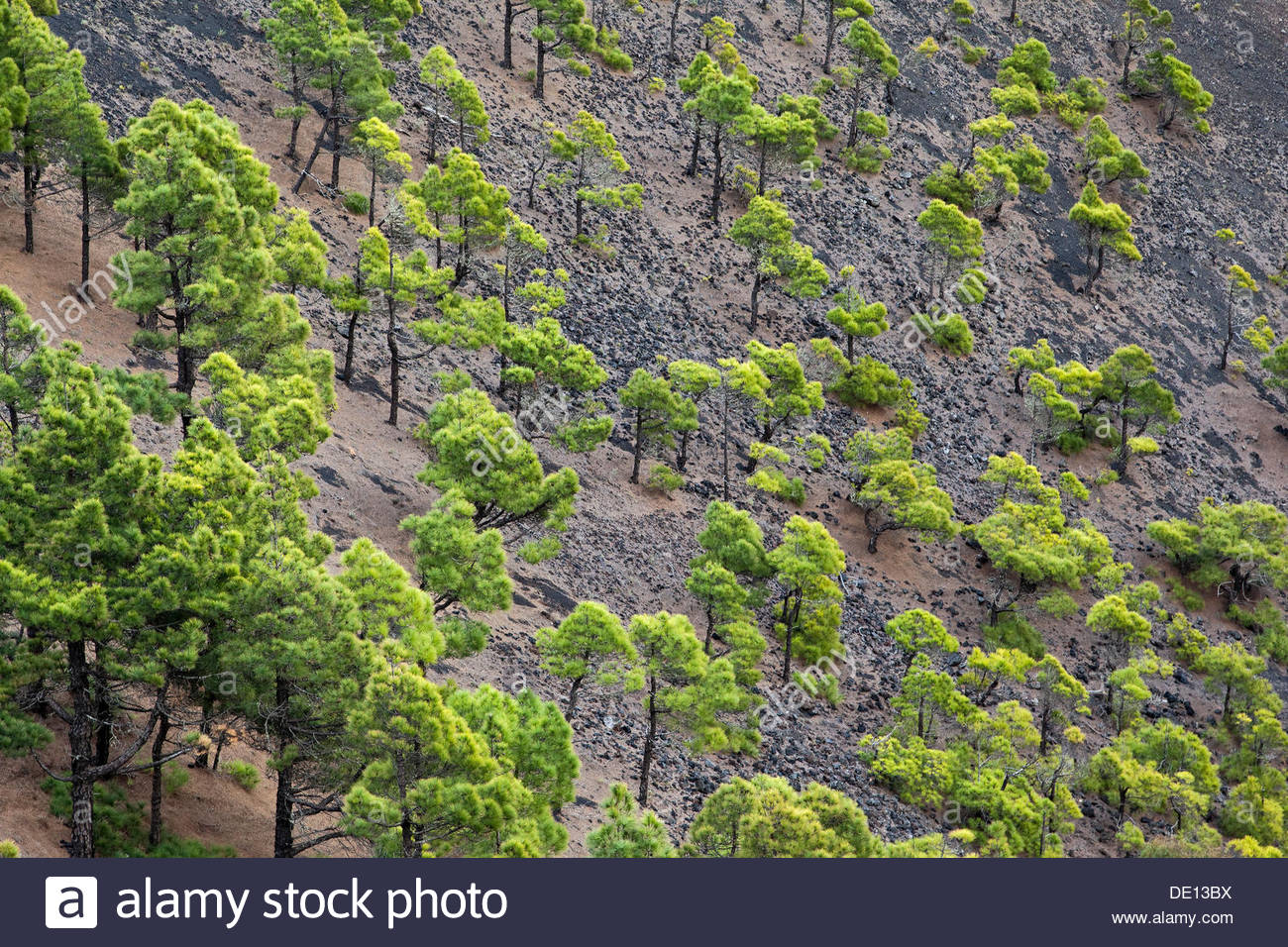 Conifers in the Teneguía volcanic crater, La Palma, Canary Islands, Spain - Stock Image