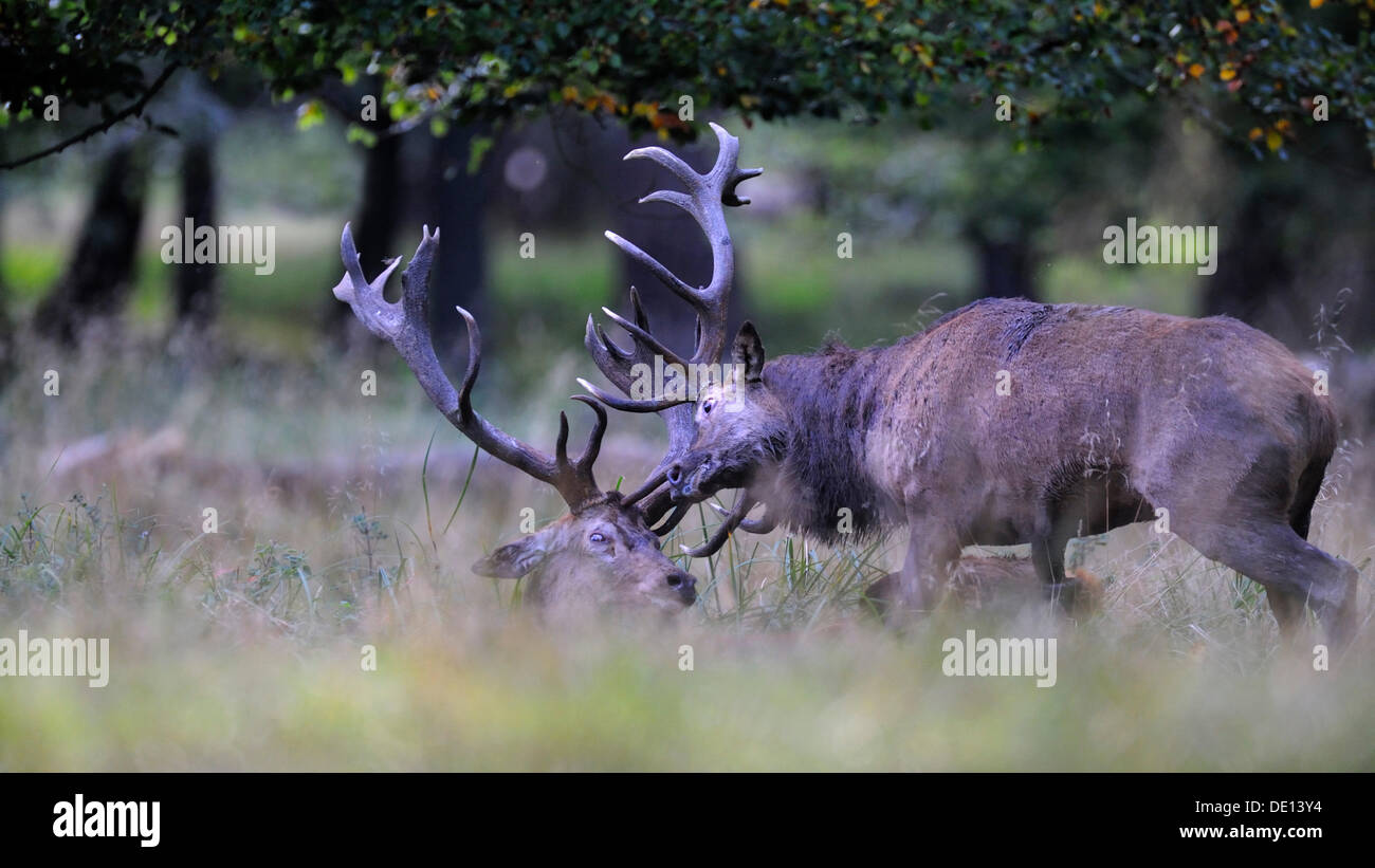 Red deer (Cervus elaphus), rutting stags, fighting, Jaegersborg, Denmark, Scandinavia, Europe Stock Photo