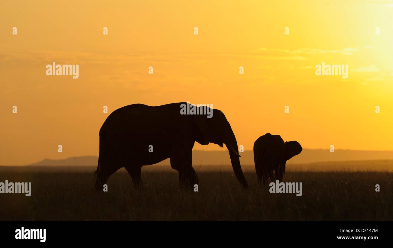 African elephant (Loxodonta africana), elephants at sunset, Masai Mara National Reserve, Kenya, East Africa, Africa - Stock Image