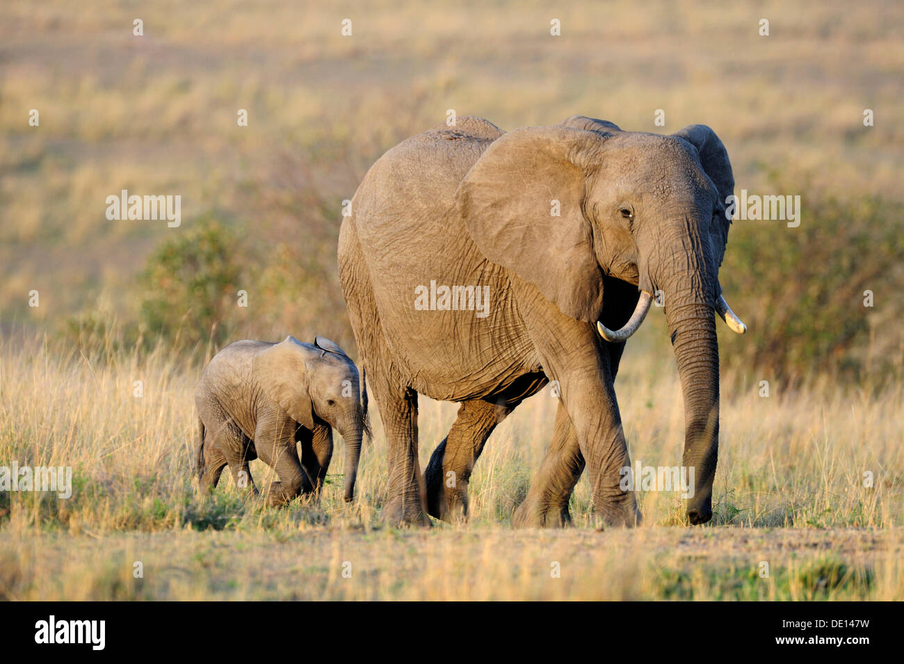African elephant (Loxodonta africana), cow and calf at the first light of dawn, Masai Mara National Reserve, Kenya, East Africa - Stock Image