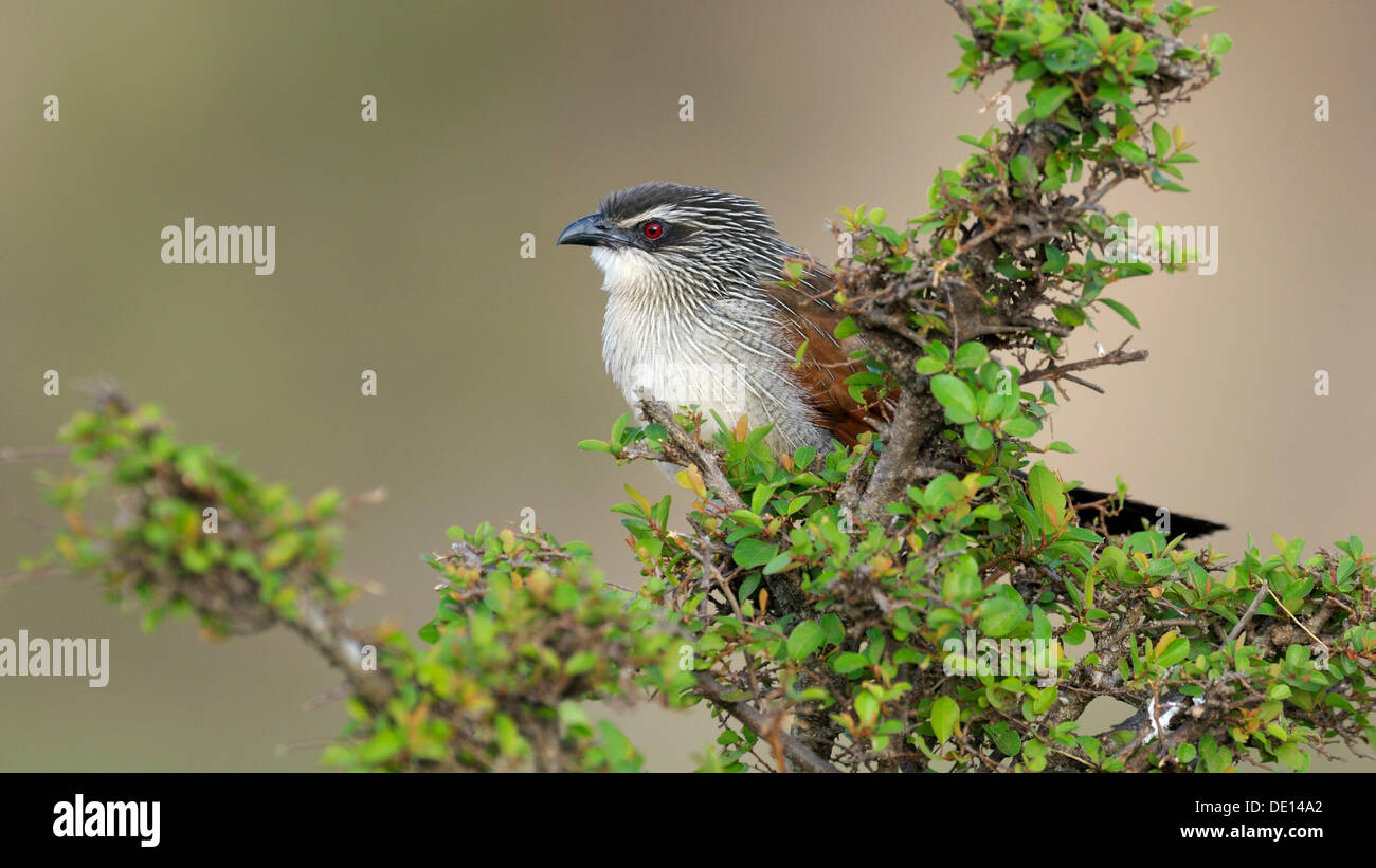 White Brewing cuckoo (Centropus superciliosus), perched, Masai Mara National Reserve, Kenya, East Africa, Africa - Stock Image