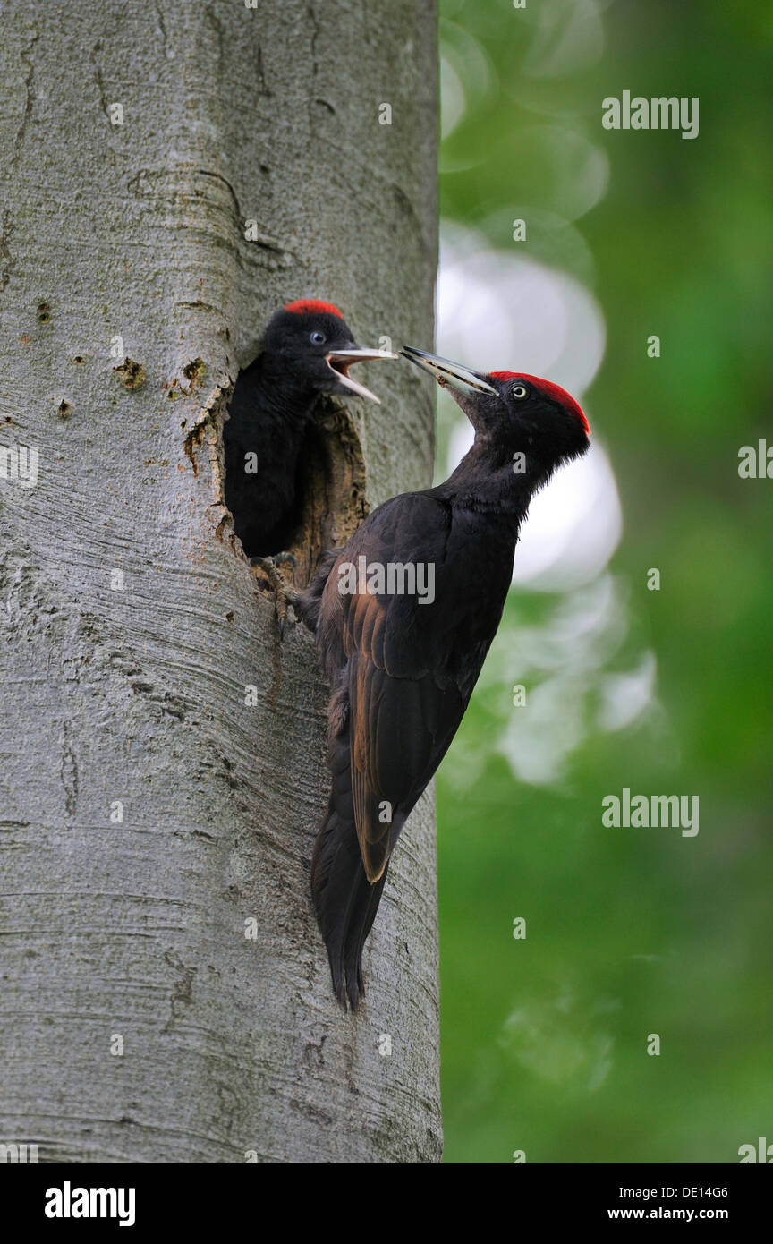 Black Woodpecker (Dryocopus martius) at nest hole in a beech with chicks (Fagus sylvatica), Biosphaerenreservat Schwaebische Alb - Stock Image