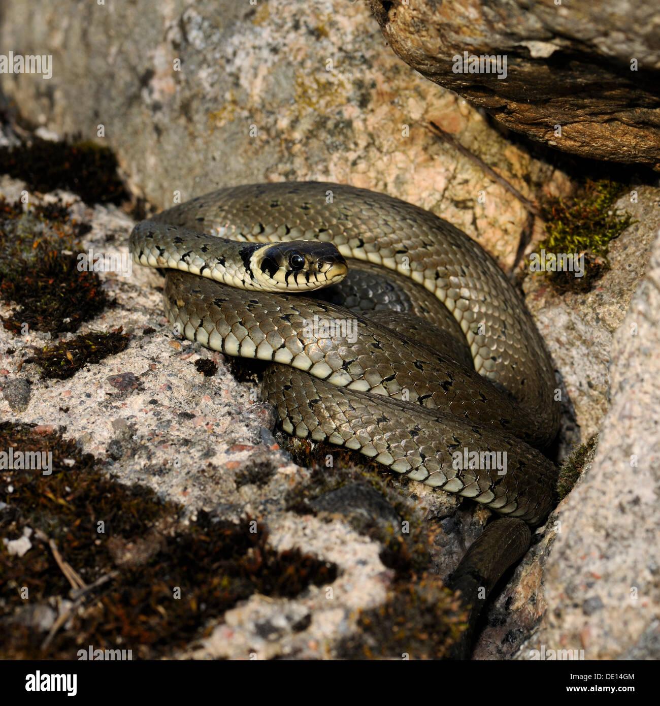 Grass Snake (Natrix natrix), Hornborgasjoen lake, Vaestergoetland, Sweden, Scandinavia, Europe - Stock Image