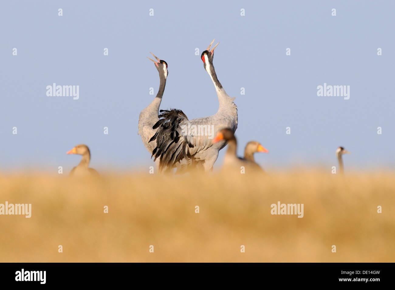 Common or Eurasian Cranes (Grus grus), breeding pair calling, Gray Geese (Anser anser) at front, Lake Hornborga, Hornborgasjoen - Stock Image