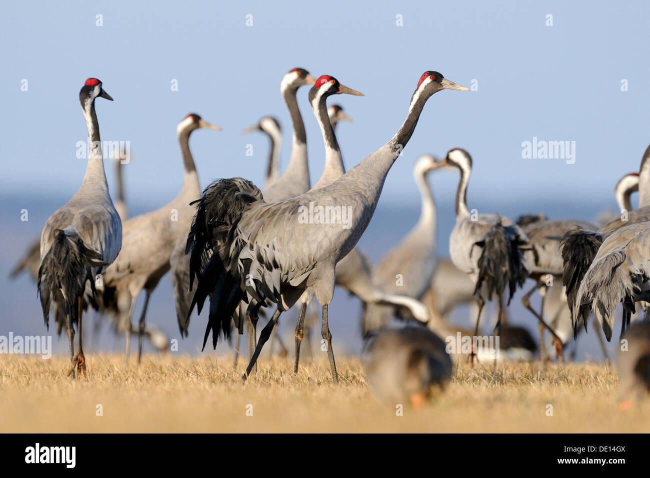 Common or Eurasian Cranes (Grus grus), large group at roost, Lake Hornborga, Hornborgasjoen, Vaestergoetland, Sweden Stock Photo
