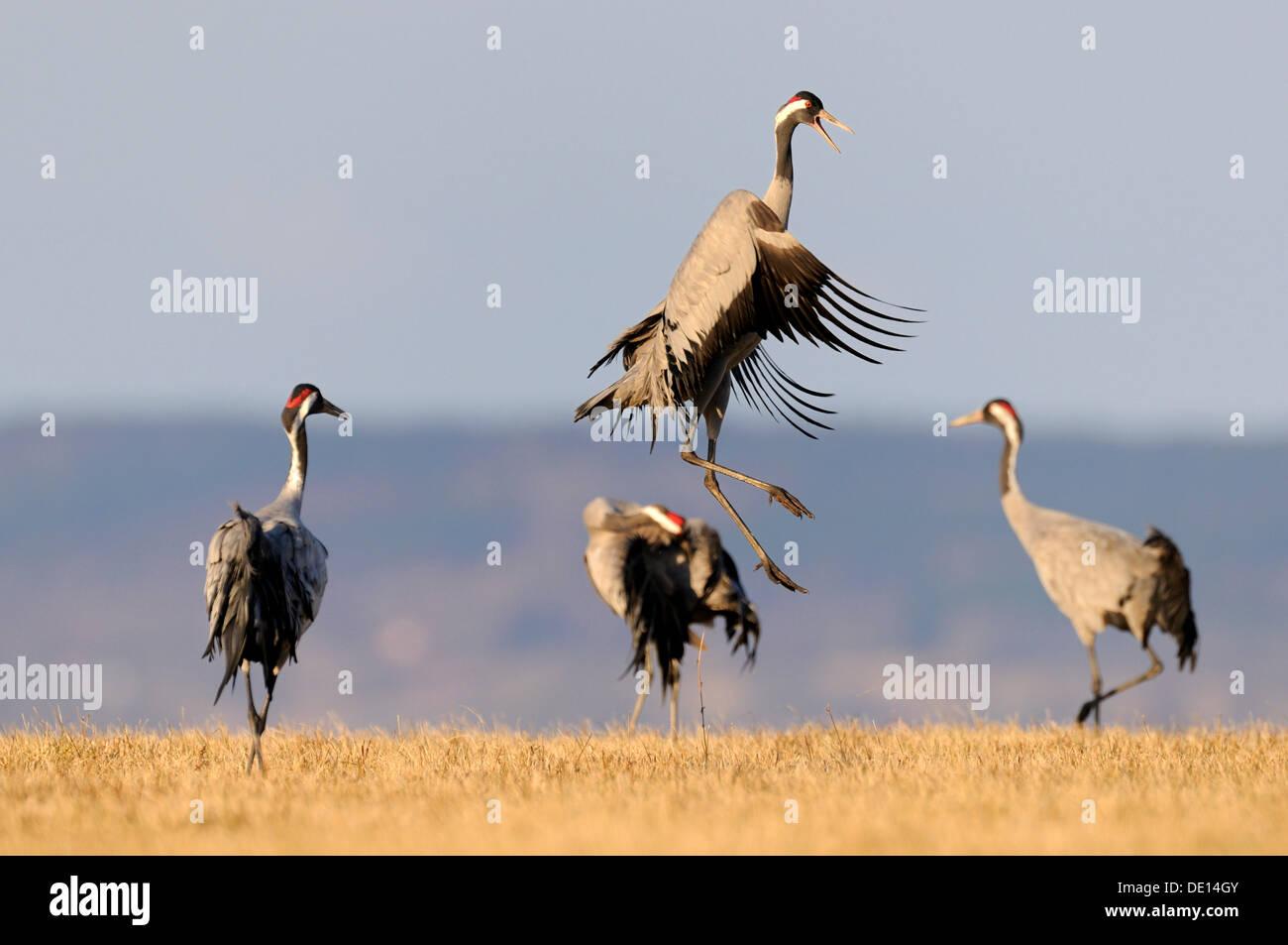 Common or Eurasian Cranes (Grus grus), dancing bird at roost, Lake Hornborga, Hornborgasjoen, Vaestergoetland, Sweden - Stock Image