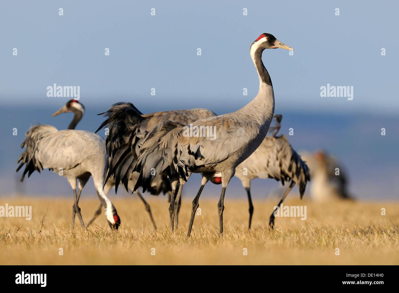 Common or Eurasian Cranes (Grus grus), at roost, Lake Hornborga, Hornborgasjoen, Vaestergoetland, Sweden, Scandinavia, Europe - Stock Image