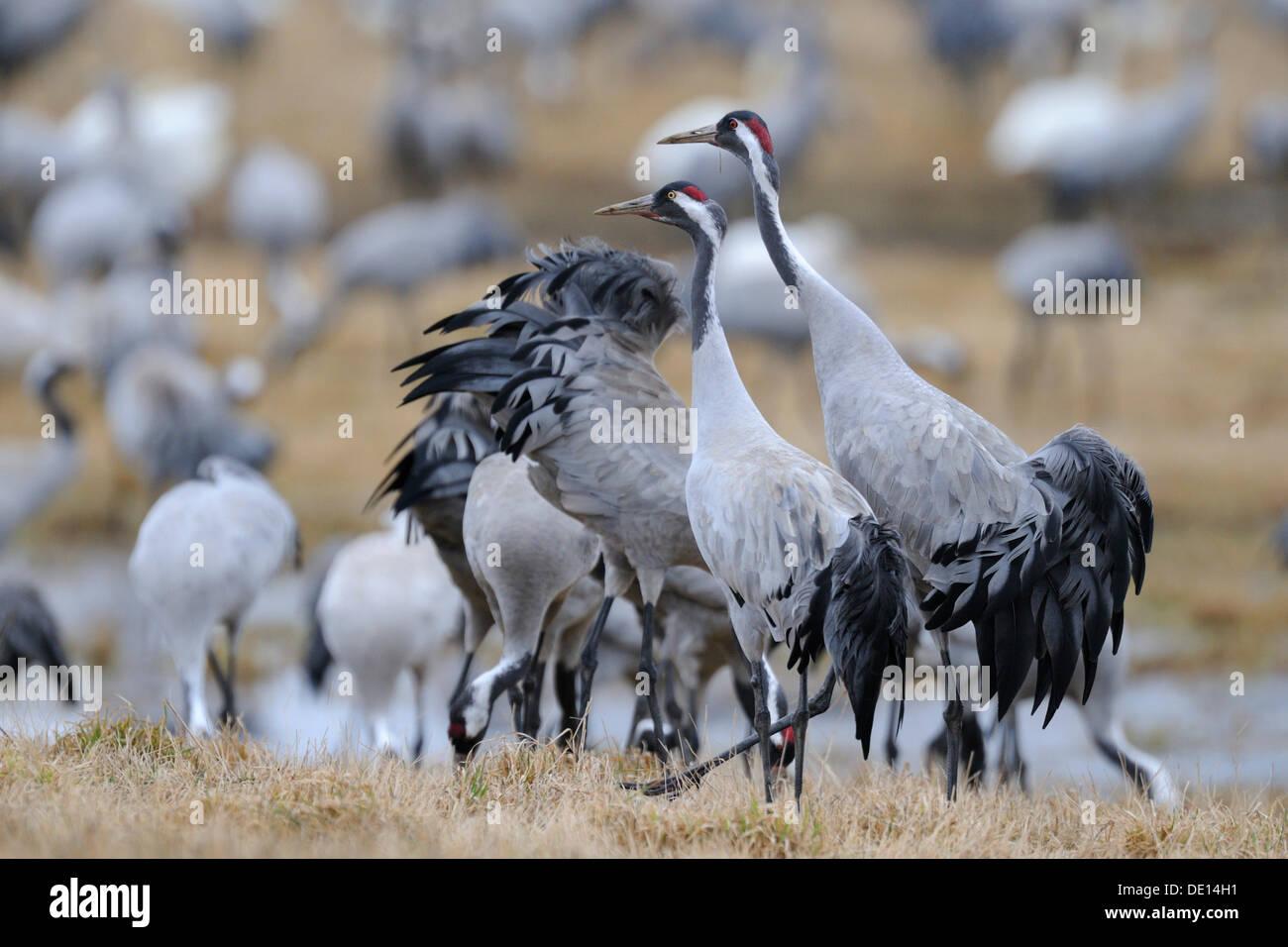 Common or Eurasian Cranes (Grus grus), at roost, dominant breeding pair striding at front, Lake Hornborga, Hornborgasjoen - Stock Image
