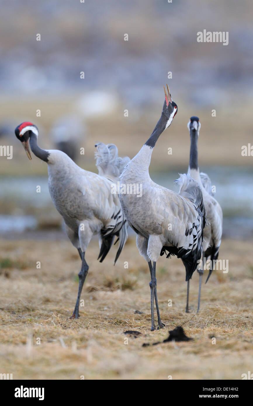 Common or Eurasian Cranes (Grus grus), at roost, birds calling, Lake Hornborga, Hornborgasjoen, Vaestergoetland, Sweden - Stock Image