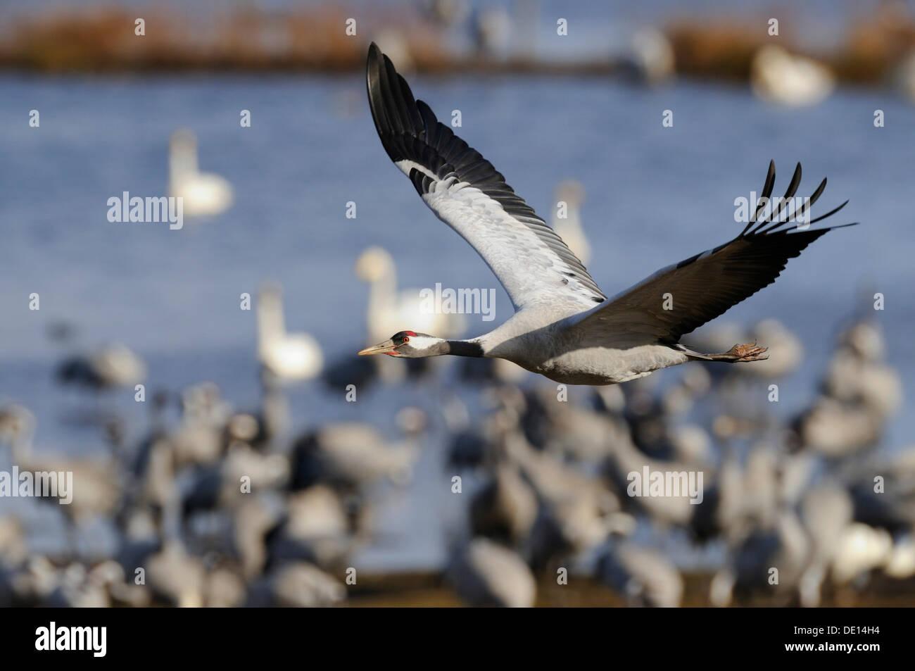 Common or Eurasian Cranes (Grus grus), at roost, crane in flight, Lake Hornborga, Hornborgasjoen, Vaestergoetland, Sweden - Stock Image
