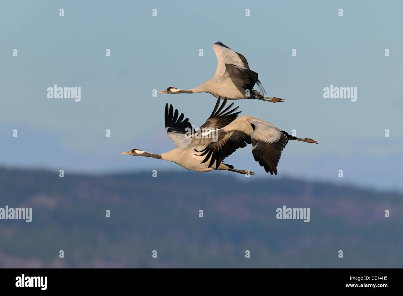 Common or Eurasian Cranes (Grus grus), crane family in flight, Lake Hornborga, Hornborgasjoen, Vaestergoetland, Sweden - Stock Image