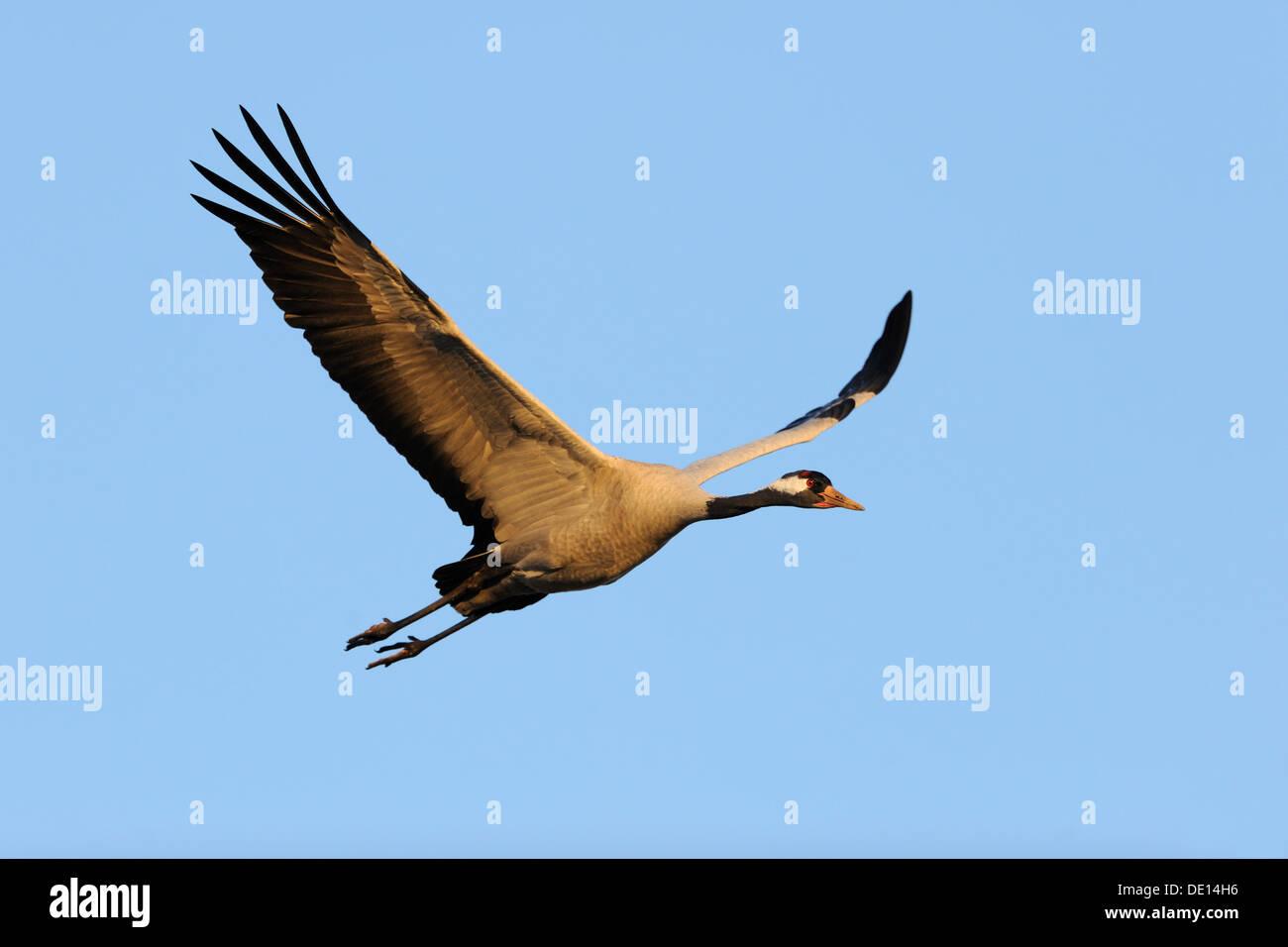 Common or Eurasian Crane (Grus grus), in flight, Lake Hornborga, Hornborgasjoen, Vaestergoetland, Sweden, Scandinavia, Europe - Stock Image