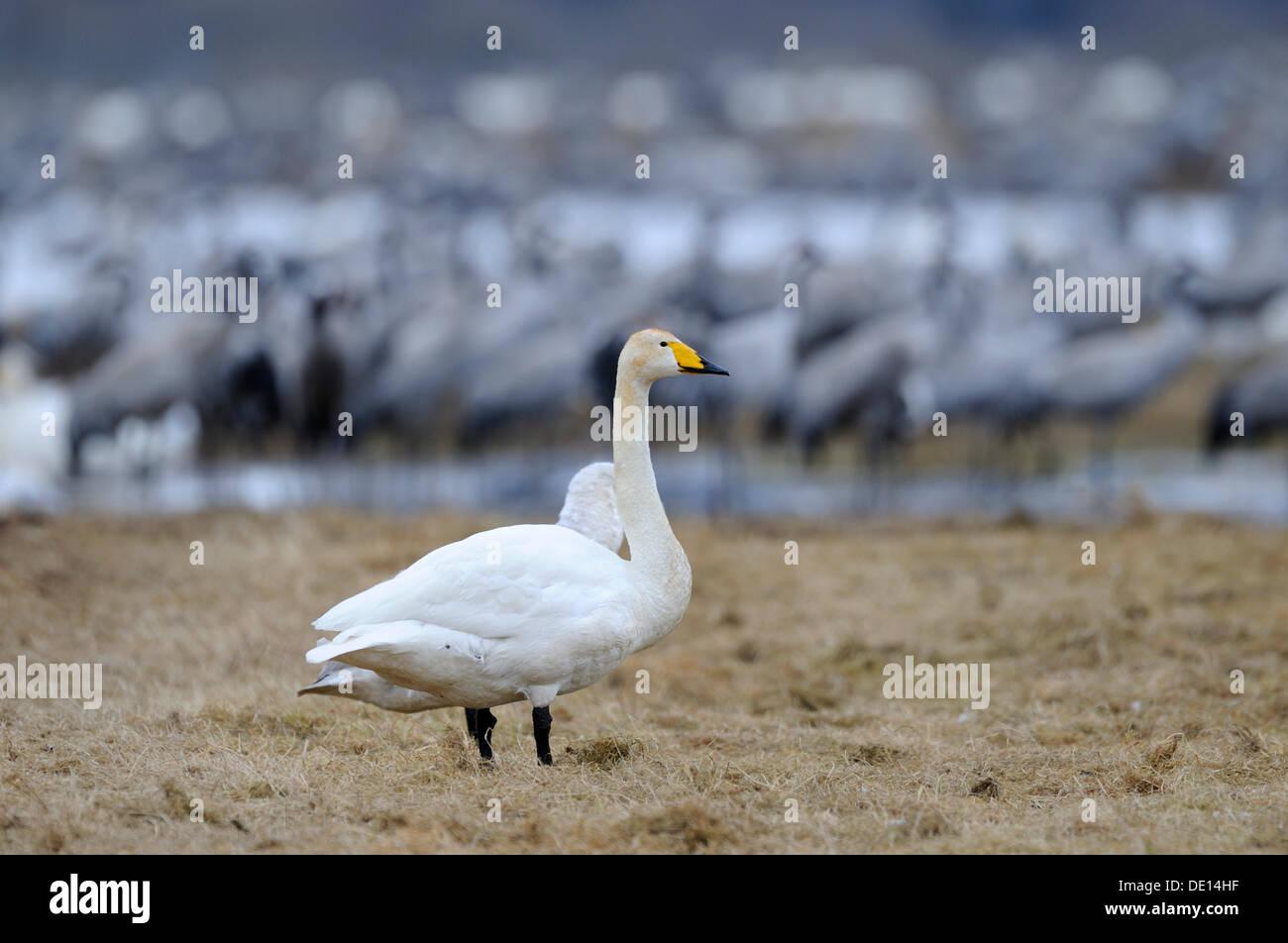 Whooper Swans (Cygnus cygnus) and cranes (Grus grus), rest area, Hornborgasjoen, Vaestergoetland, Sweden, Scandinavia, Europe - Stock Image