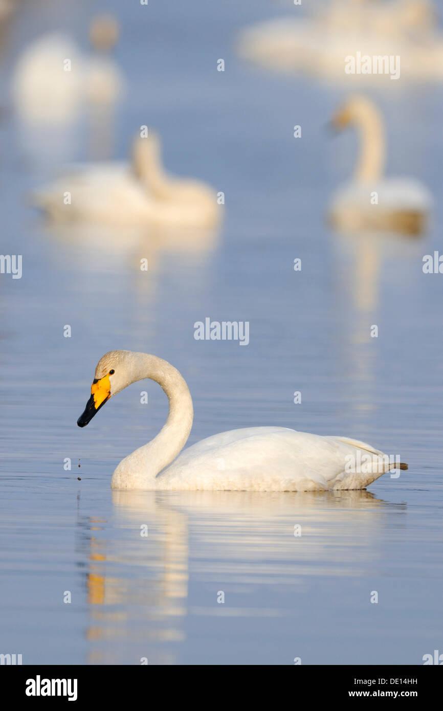 Whooper swan (Cygnus cygnus), rest area, Hornborgasjoen, Vaestergoetland, Sweden, Scandinavia, Europe - Stock Image