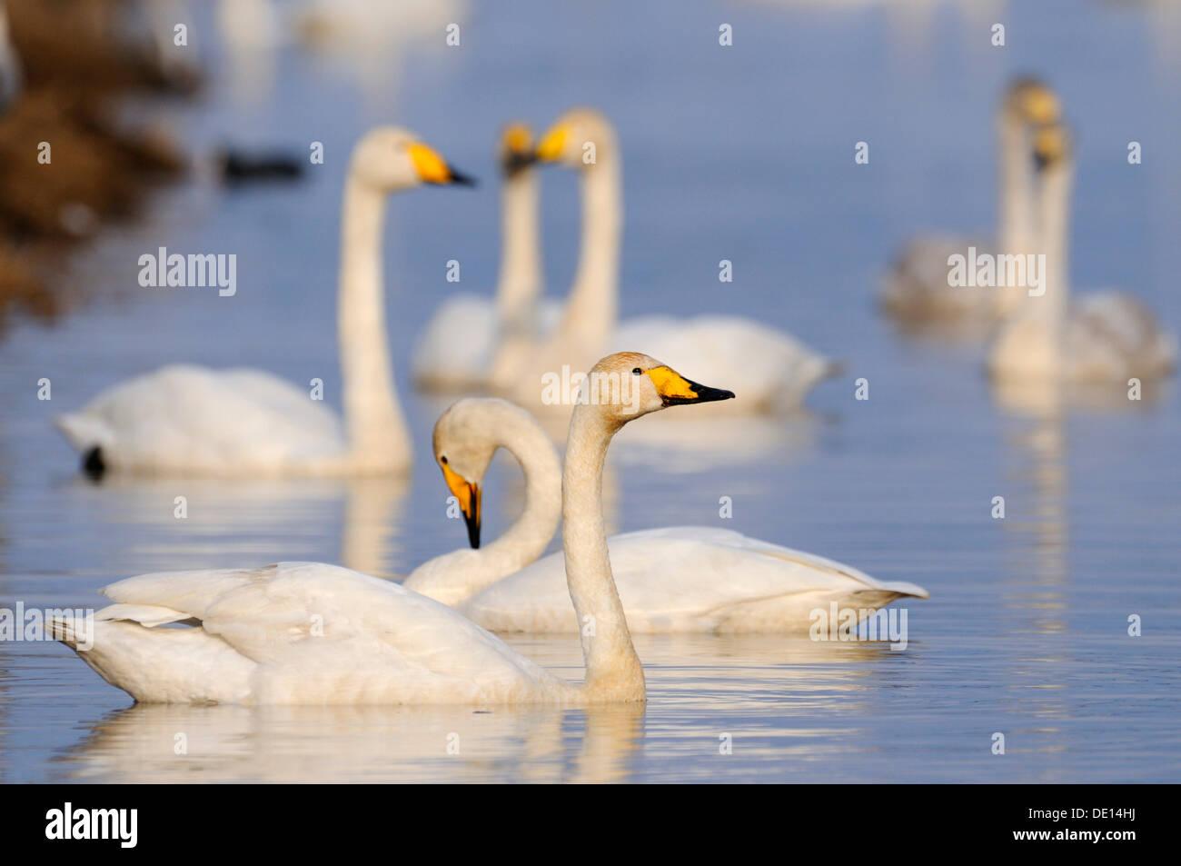Whooper swans (Cygnus cygnus), rest area, Hornborgasjoen, Vaestergoetland, Sweden, Scandinavia, Europe - Stock Image