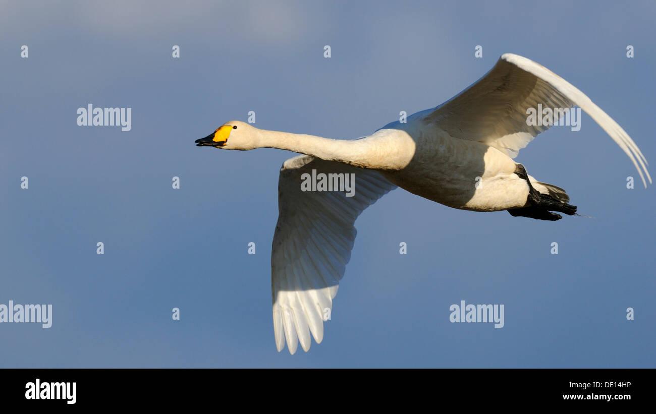 Whooper Swan (Cygnus cygnus), flying, Hornborgasjoen, Vaestergoetland, Sweden, Scandinavia, Europe - Stock Image