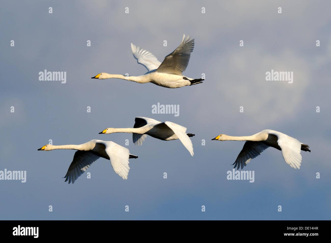 Whooper swans (Cygnus cygnus), flying animal family, Hornborgasjoen, Vaestergoetland, Sweden, Scandinavia, Europe - Stock Image
