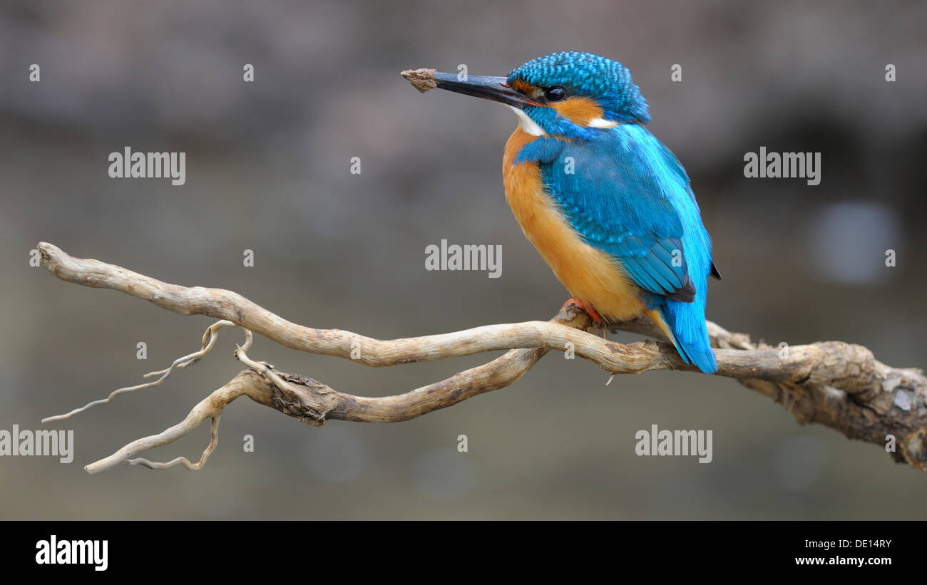 Kingfisher (Alcedo atthis) resting on its lookout branch after digging out a breeding hole, biosphere reserve, Swabian Alb - Stock Image