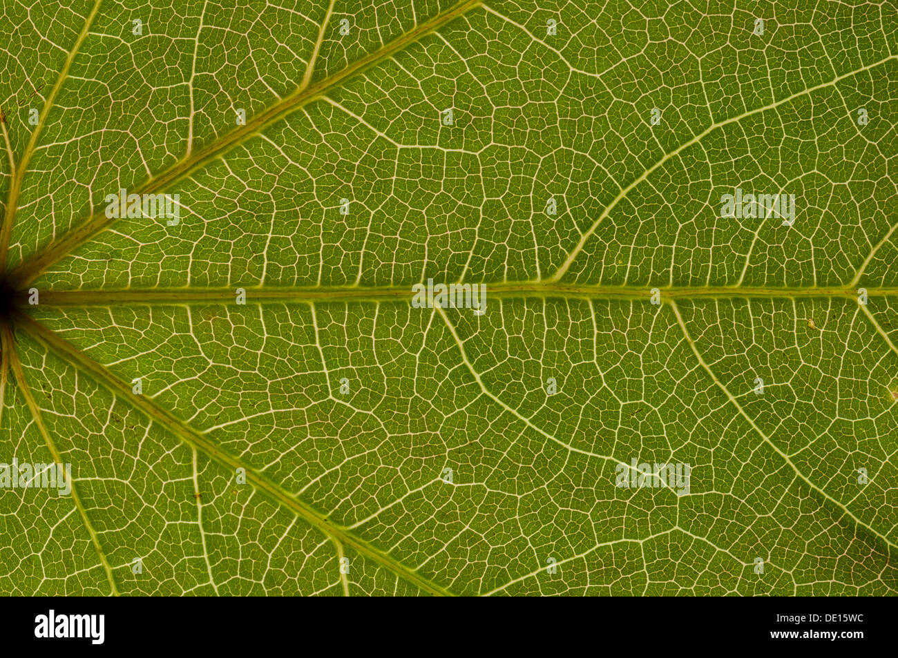 Sheet structure of the tricuspid creeper (Parthenocissus tricuspidata) in transmitted light, detail - Stock Image
