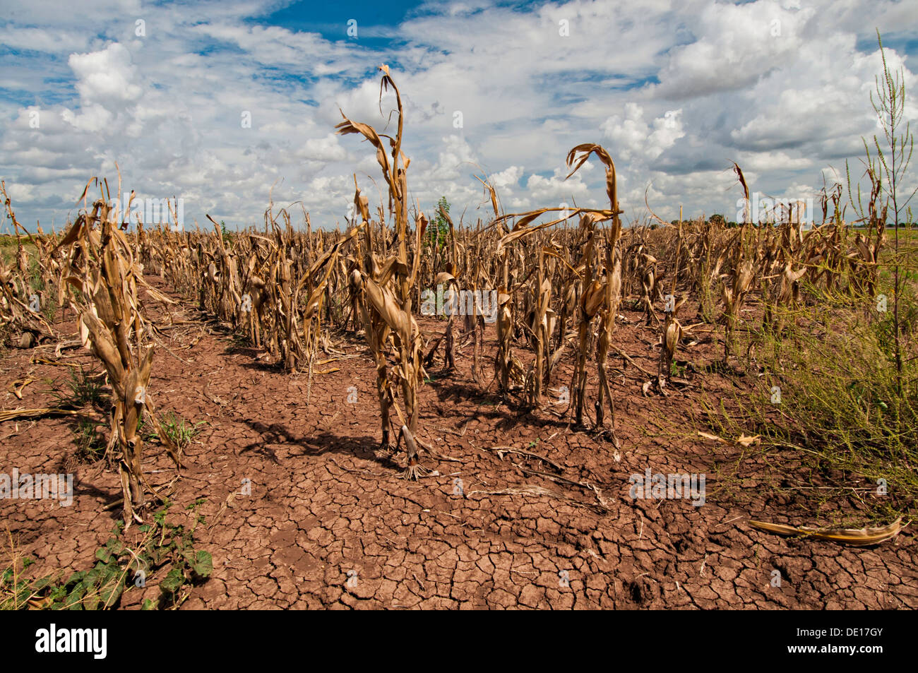 Drought devastated corn crops August 20, 2013 in Navasota, Texas. - Stock Image